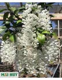 Thủy tiên trắng rừng đột biến hoa