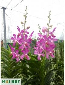 Hoàng nhạn Thái Lan cây TRUNG