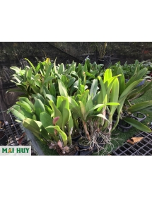 Cattleya đủ màu hoa TO_có NỤ