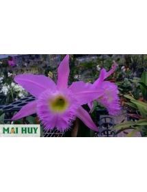 Catt. Long heo hoa màu tím