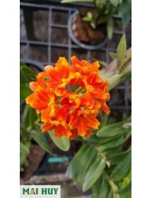Epidendrum Orange
