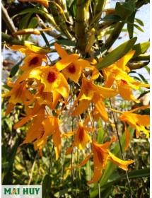 Dendro Lamyaiae (Đơn cam) Thái Lan_thân cây To
