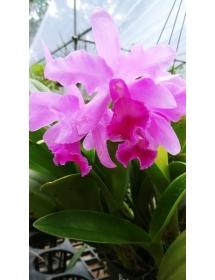 COMBO Kích hoa, dưỡng hoa lan ĐA THÂN (Dendro, Cattleya)