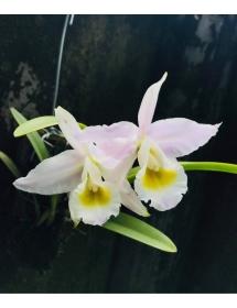 C. Eldorado var concolor