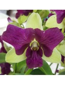 Dendrobium purple green three lips