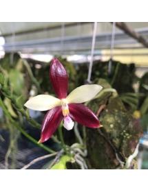 Hồ điệp Thơm Sumatra đột biến hoa (đỏ trắng)