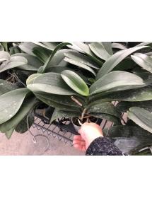 Hồ điệp đại 3.5 inch cắt vòi hoa -THANH LÝ