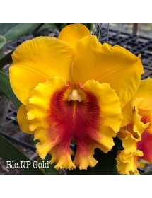 Cattleya Np. Gold