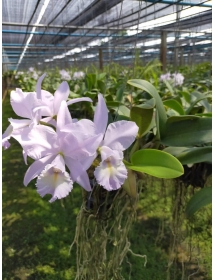 Cattleya Sea breeze Blue Ribbon