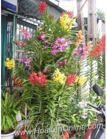Mokara cây đại có hoa