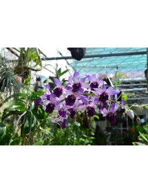 Dendro. Serene Chang. Purple