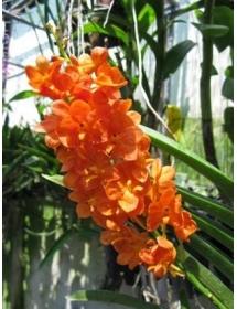 Hoả hoàng cam siêng hoa