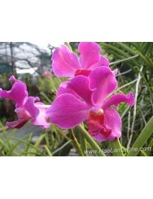 Vanda nắng đủ màu Thái Lan