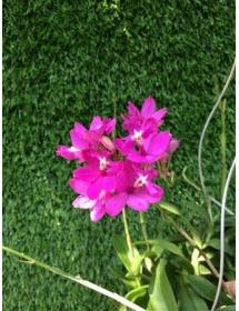 Epidendrum Pink