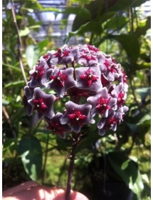 Hoya Pubicaly x Royal Hawaii