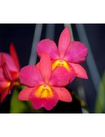 Cat. Broughtonia Sanguinea - Red