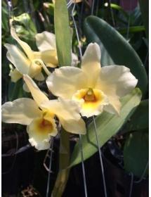 Dendro mùa xuân lai_màu vàng