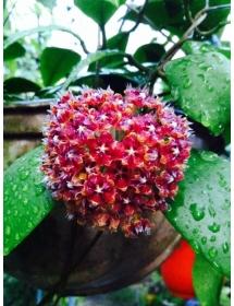 Hoya Mindorensis Red