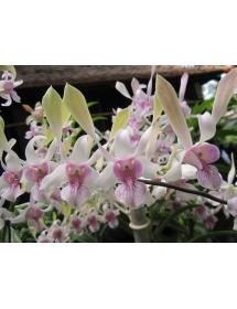 Den. Nắng Tai thỏ hồng cây con