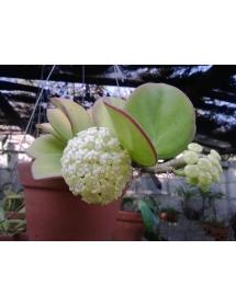 Hoya patchylada