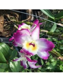 Dendro mùa xuân siêng hoa_màu mới