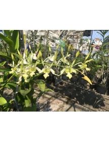 Dendro. C. White Blue hồng (cây quý hiếm)