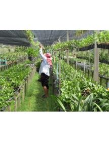 VIDEO - Công nghệ trồng lan tại Thái vượt bậc trong tầm tay
