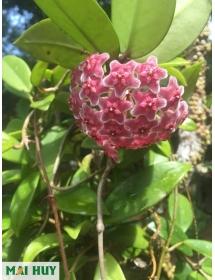 Cẩm cù Hoya Compacta lá xoắn